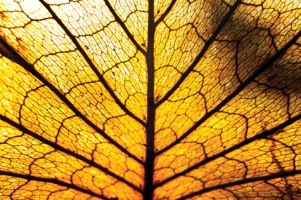 Yellow-Leaf-Veins